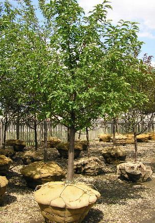 Red Jewel Crabapple Bernardin S Landscaping